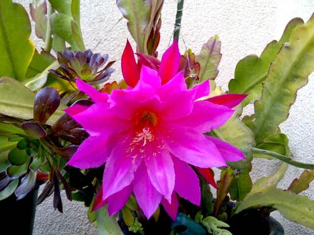 Bunga Wijayakusuma + Gambar Merah Putih