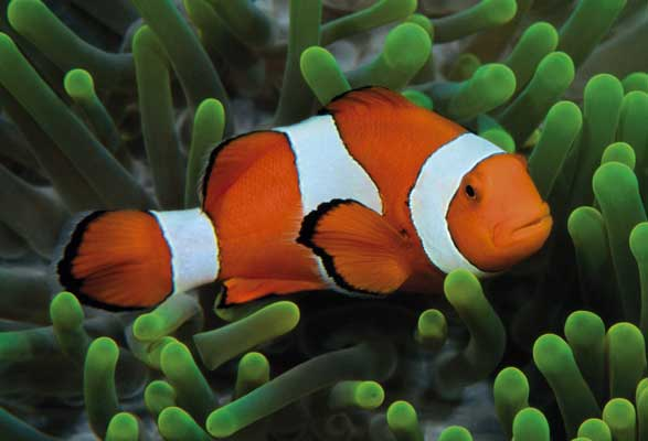 Clown fish info and new photos images the wildlife for Clown fish nemo