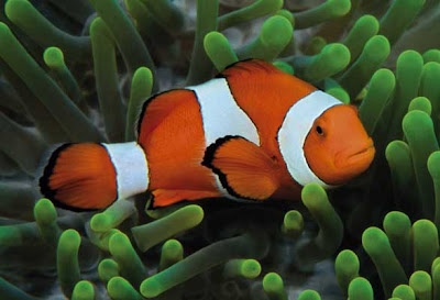 Clown fish info and new photos images the wildlife for Clown fish care