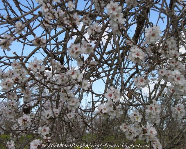 White Almond blossom