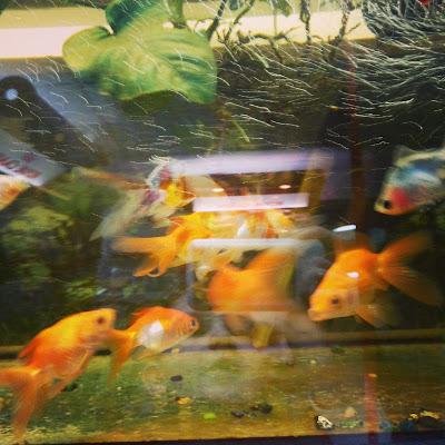 золотые рыбки в зоомагазине