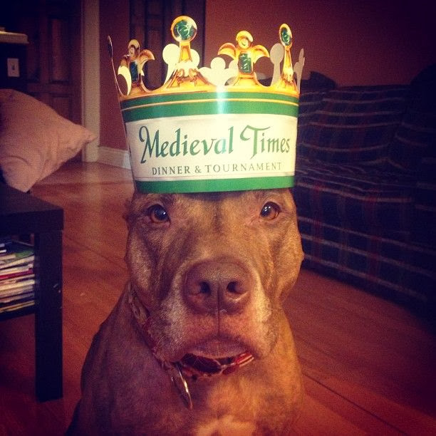 Scout the pit bull balances stuff on his head (30 pics), stuff on Scout's head, scout with paper crown on his head