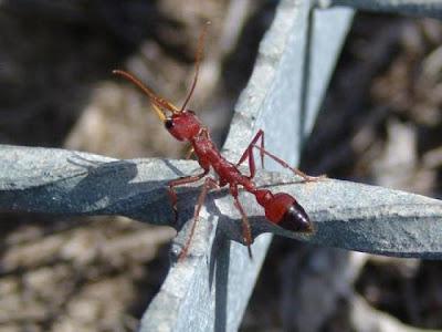 Semut Banteng