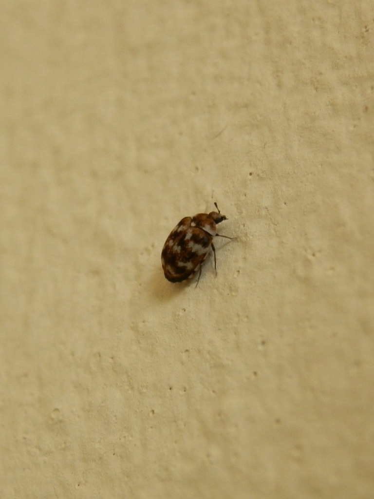 What Do Baby Carpet Beetles Look Like Carpet Vidalondon