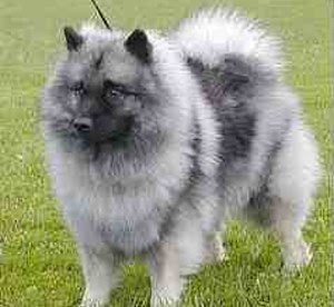 keeshond puppy pets dog animal deutscher wolfsspitz