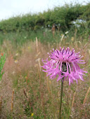 Greater Knapweed (Centaurea scabiosa )