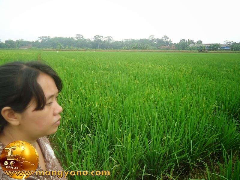Bu Mandor Ngaroris Tanaman Padi Di Bakan Bandung. Foto jepretan di sawah Bakan Bandung