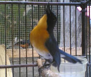 Burung Tledekan-Tips Perawatan  Burung Tledekan Secara Sederhana-Perawatan Burung Tledekan Agar Cepat Gacor-Sangkar yang baik bagi Burung Tledekan minimal mempunyau ukuran P=30 x L=30  T=50cm, selain mudah dalam menempatkan pakan Burung Tledekan yang cukup beraneka ragam, juga memungkinkan Burung Tledekan untuk leluasa bergerak. Pada kasus burung sedang dalam kondisi mabung mencegah terjadinya kegemukan. Kebersihan sangkar juga harus diperhatikan. Minimal dalam 2 hari sangkar dibersihkan dari kotoran (tinja) dan bekas makanannya. Kebersihan sangkar juga menghindari burung dari terjangkit penyakit. Kelekapan standar bagi sangkar adalah tenggetan dengan kondisi saat burung bertengger maka antara kuku kaki depan dan belakang tidak saling bertemu (terkena), tempat makan dan minum bisa terbuat dari mika atau porselein dan temopat kroto. Pemandian dan penjemuran bagi Burung Tledekan merupakan sarat mutlak, penjemuran dapat memberi asupan Burung Tledekan vitamin D.       Perawatan Burung Tledekan Agar Cepat Gacor Keluarkan burung di pagi hari (di embun-embunkan)karena pada pagi ini banyak burung yang sudah keluar pada sarangnya untuk mencari makan dan biasanya burung ini akan menyeruakan suaranya masing-masing sehingga ini bisa menjadikan burung kita merasa di alam bebas dengan udara pagi yang masih segar. Lakukan pembersihan kandang dari kotoran-kotaran burung Setelah di embun-embunkan kurung lebih 30 menit kemudian berikan 2 ekor  jangkrik kecil Kemudian mandikan burung dengan semprotan gunakan yang lembut saja sampai basah Setelah di mandikan jemur burung di terik matahari kurang lebih 1 sampai 2 jam Kemudian setelah di jemur atau di angin-anginkan tempatkan burung di tempay yang teduh Kemudian pada pukul 9 anda dapat memberikan kroto 1/2 sendok teh Pada sore hari antar jam 5 anda dapat mengganti air minum dan sekaligus membersihkan kandang Kemudian anda memberikan jangkrik sebulum di istirahatkan berikan 5 ekor saja kemudia kerodong.
