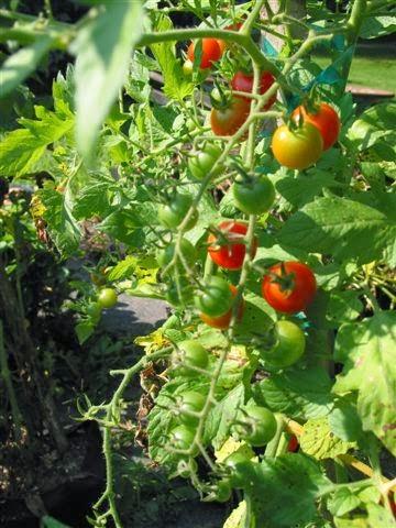 tips for growing tomatoes in pots garden park. Black Bedroom Furniture Sets. Home Design Ideas