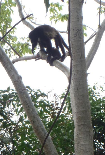 howler monkeys in Nicaragua