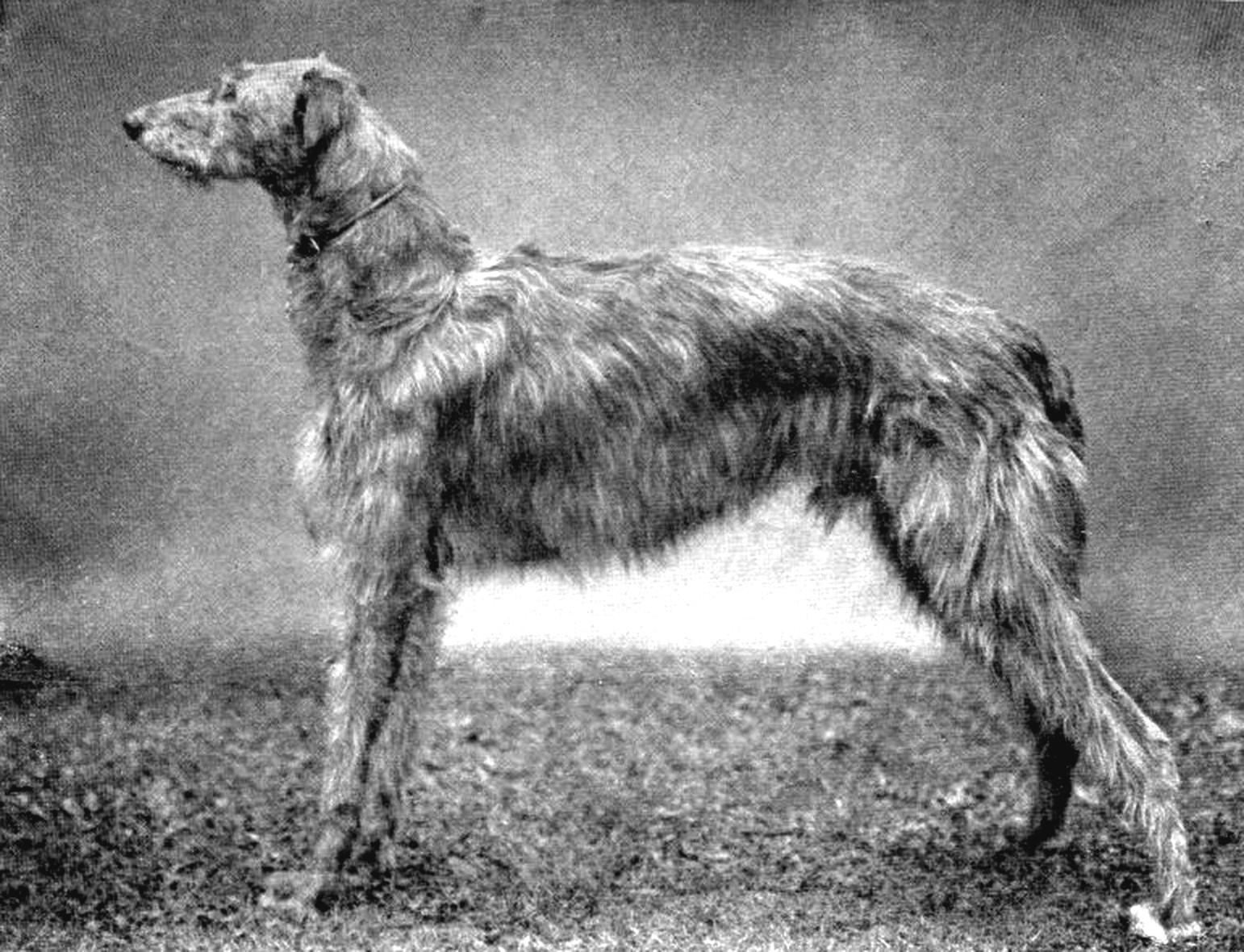 Scottish Deerhound Public Domain Clip Art Photos and Images
