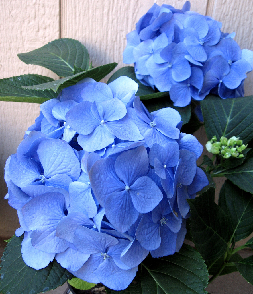 Everyday Artist Step By Step Watercolor How To Paint A Blue Hydrangea