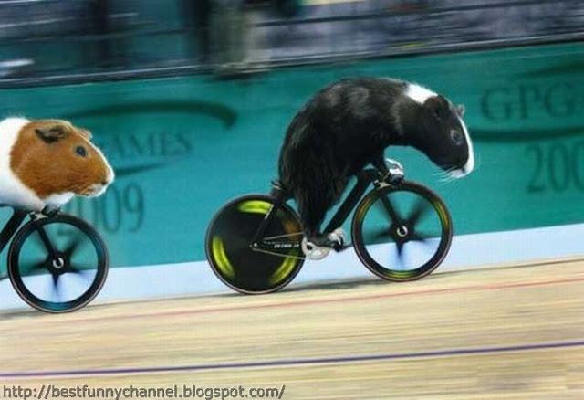 Guinea pigs cyclist.