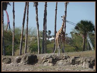 giraffe at Busch Gardens, Tampa, Florida