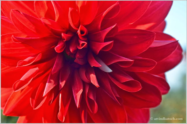Red Flower, Sun light, Shadow effect, deep red