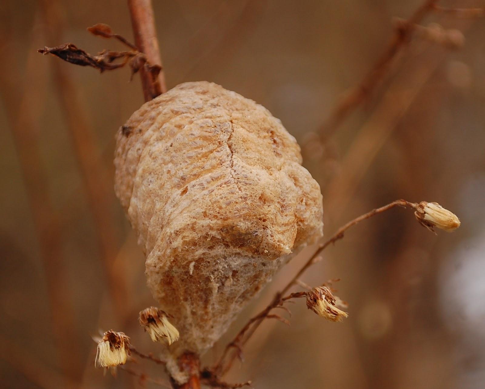Praying Mantis Eggs master naturali...