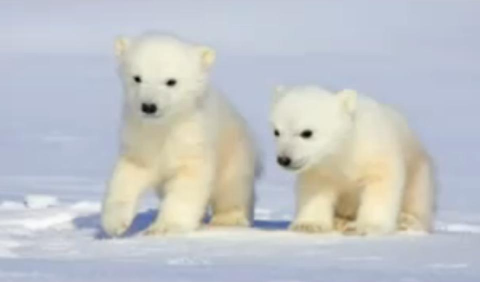 http://1.bp.blogspot.com/-qu3OEBInazw/Tf7SBLKDbhI/AAAAAAAAAEQ/0ychUebNYmI/s1600/bear+Polar+bears+dangerous+animal+attacks+animal+protection+animal+rescue+wildanimal+conservation+babies+of+dangerous+beautiful+animals.JPG