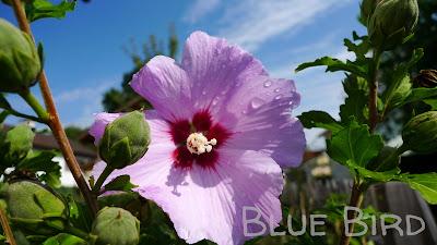 Garten im September - Hibiskus