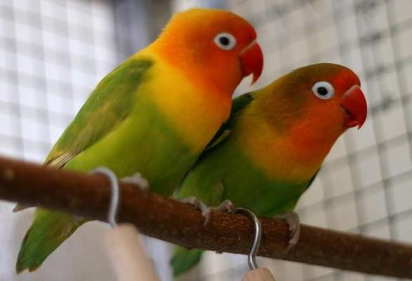 Beautiful African Love Birds 3