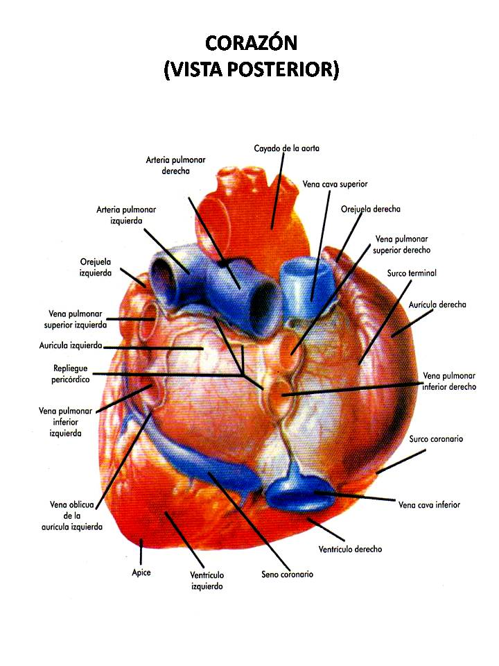 ATLAS DE ANATOMÍA HUMANA: CORAZÓN (VISTA POSTERIOR) - HEART (WIEV BACK)