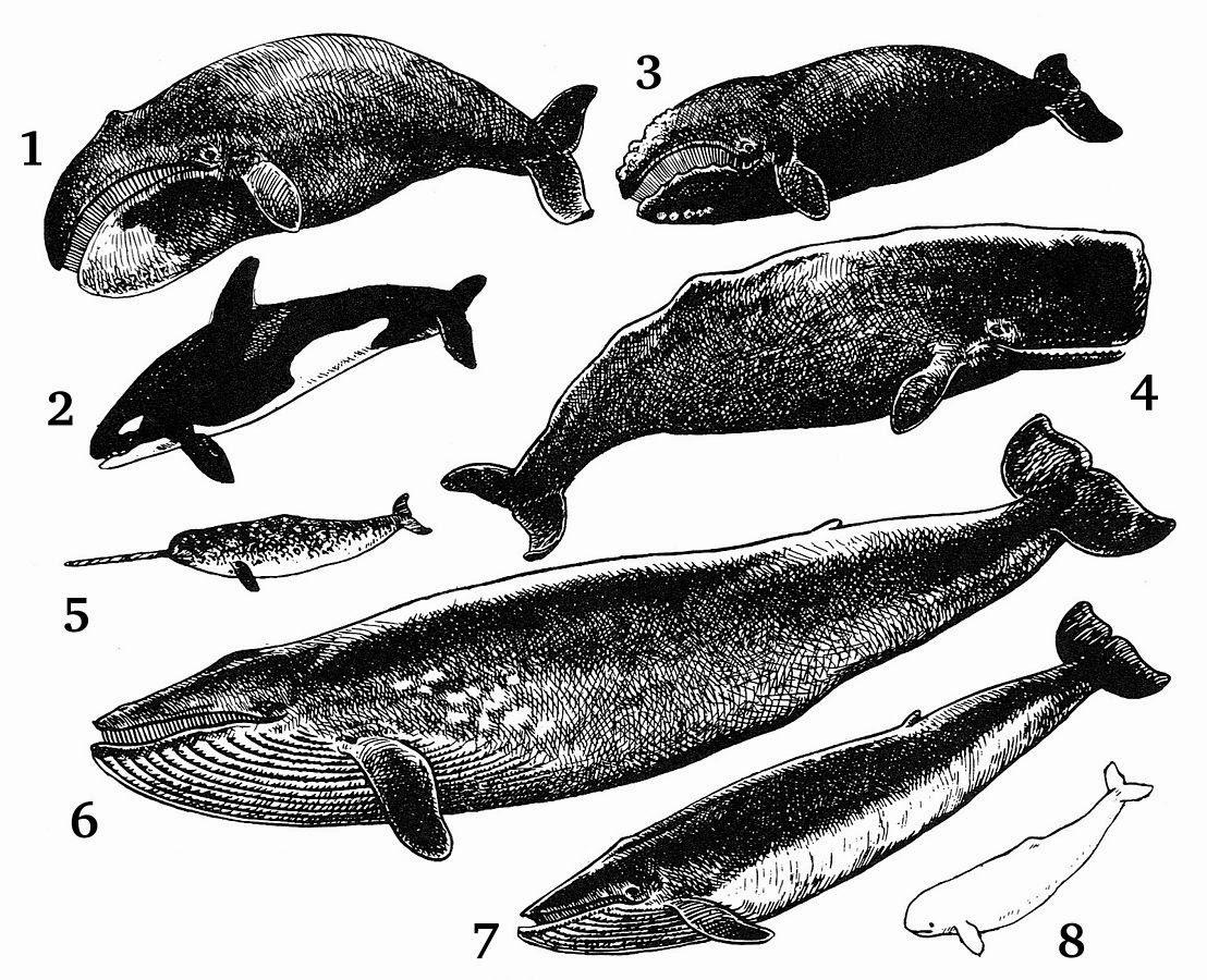 «Cetacea». Publicado bajo la licencia Dominio público vía Wikimedia Commons - http://commons.wikimedia.org/wiki/File:Cetacea.jpg#/media/File:Cetacea.jpg.