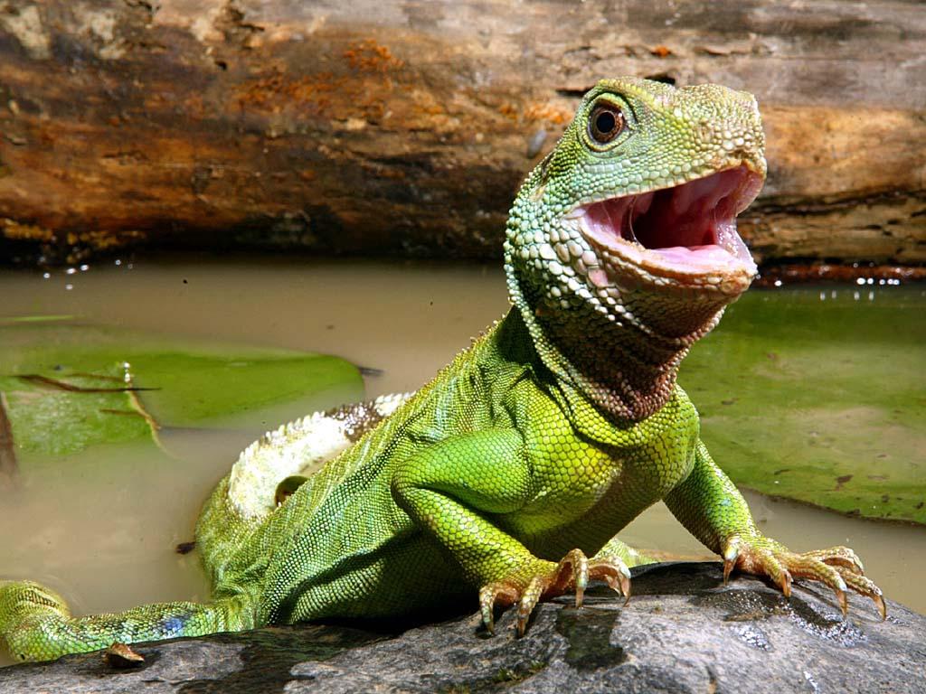 Chinese Water Dragon - True Wildlife Creatures