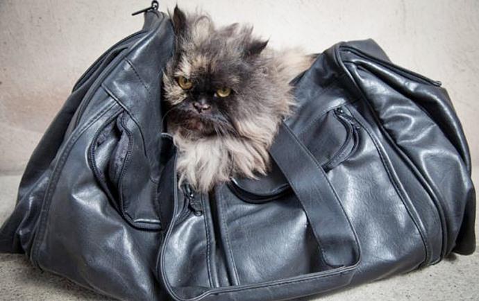 Персидский кот Бису