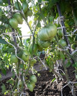 6.08. Индетерминантные помидоры после последней обрезки.