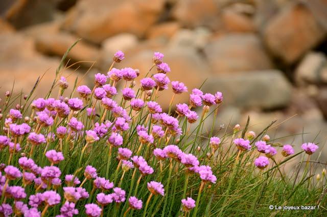 Bretagne - Plougrescant - fleurs