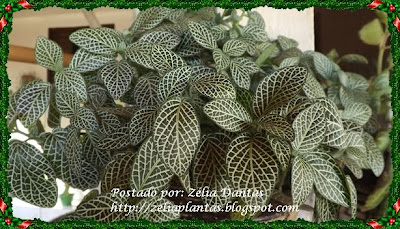 Planta de forração - fitônia ou planta mosaico