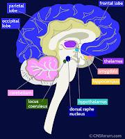 Brain Hippocampus2
