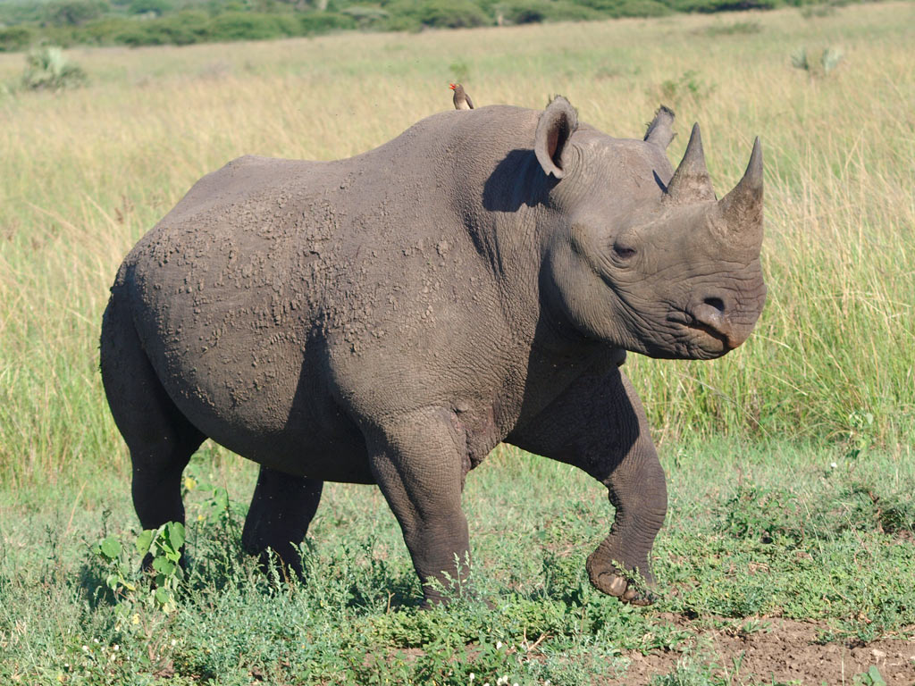 La cha 238 ne alimentaire le rhinoc 233 ros noir