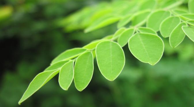 Hasil gambar untuk Sempatkah Anda konsumsi daun kelor