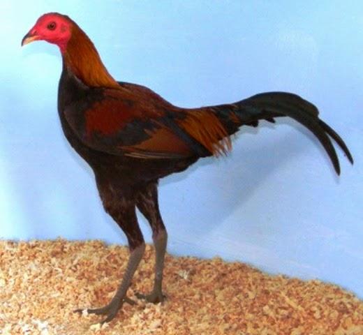 Tall modern game hen