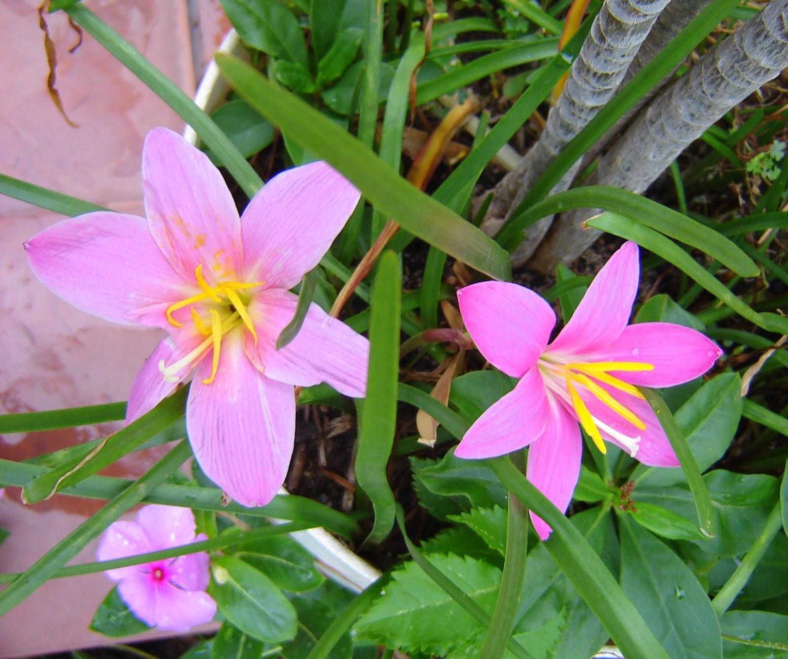 V e r d e c h a c o lirio de la lluvia for Plantas ornamentales ejemplos y nombres