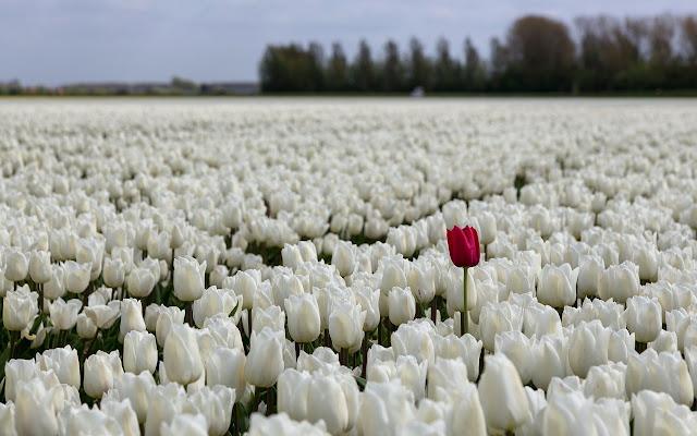 Ảnh đẹp cuộc sống: Bộ hình nền đẹp về cánh đồng hoa Tulip 2