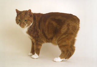manx cat pets info breed animal domestic gato photo