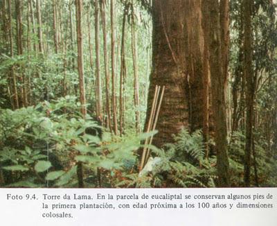 Más eucaliptos,  más   coníferas. Consecuencias de la sed de beneficio$ en la húmeda Galicia. El sector forestal. 1980_Eucaliptos+en+Torre+da+Lama+del+pionero+Maci%25C3%25B1eira