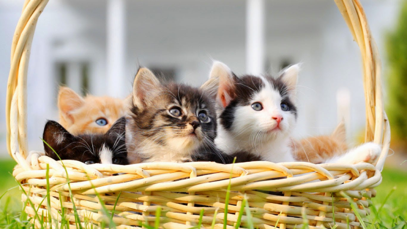 Kittens in a basket (© skynesher/Creatas Video/Getty Images) 509