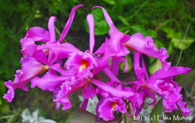 Cattleya maxima. Peruvian orchid