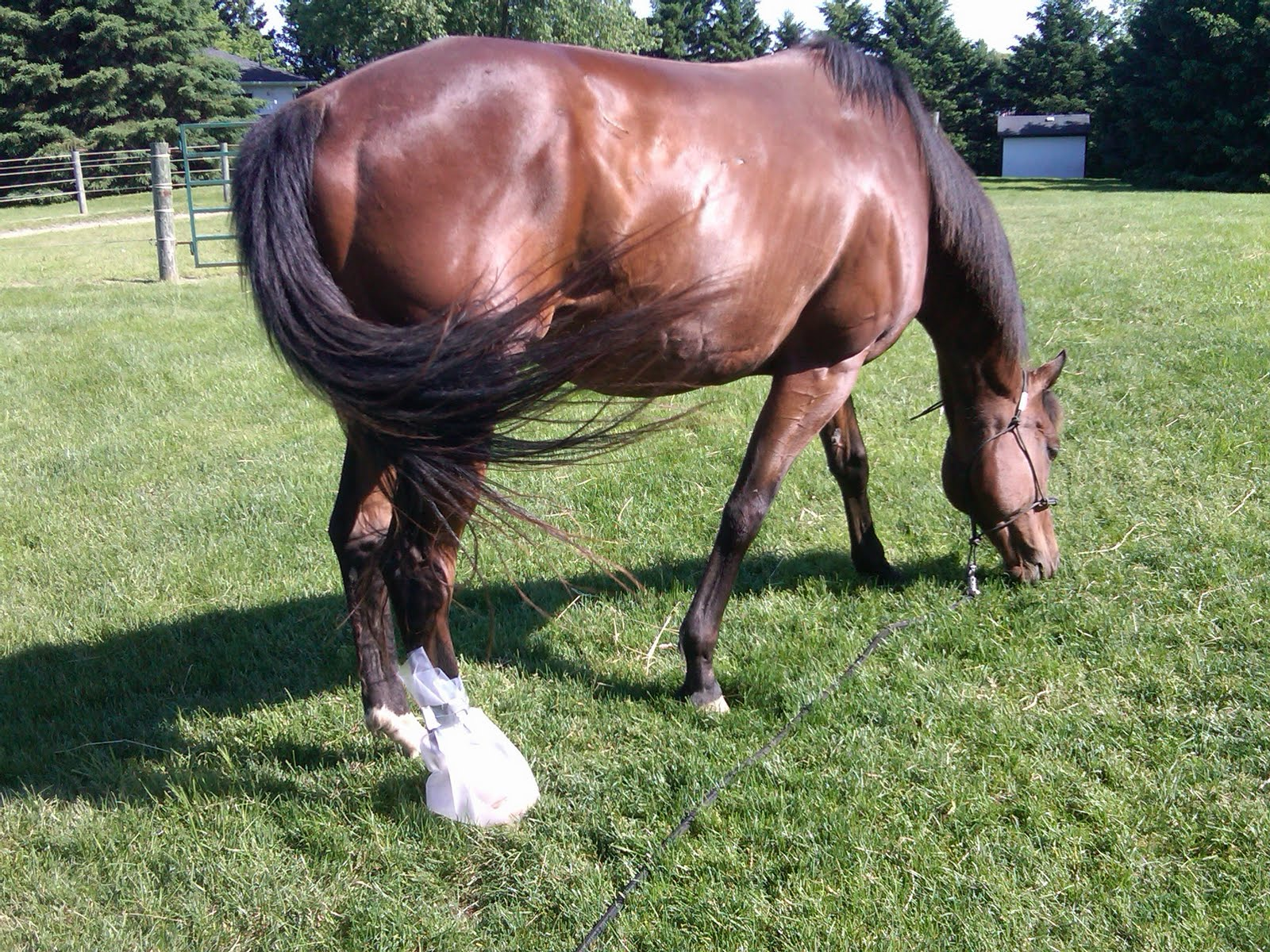 how to give a 7 way vacination for a horse