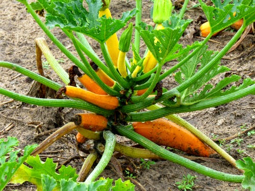 orange zucchini field