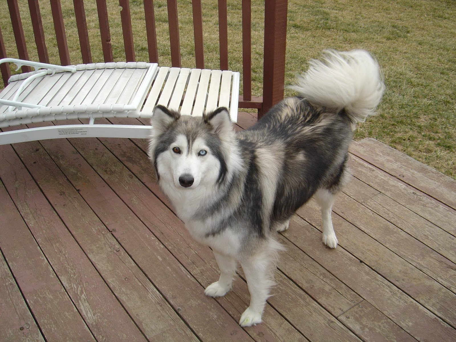Cute Puppies and Dogs Pictures: Siberian Husky Dog Breeders Pictures