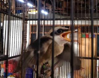 Tips Merawat Burung Cendet Trotolan Terbaik