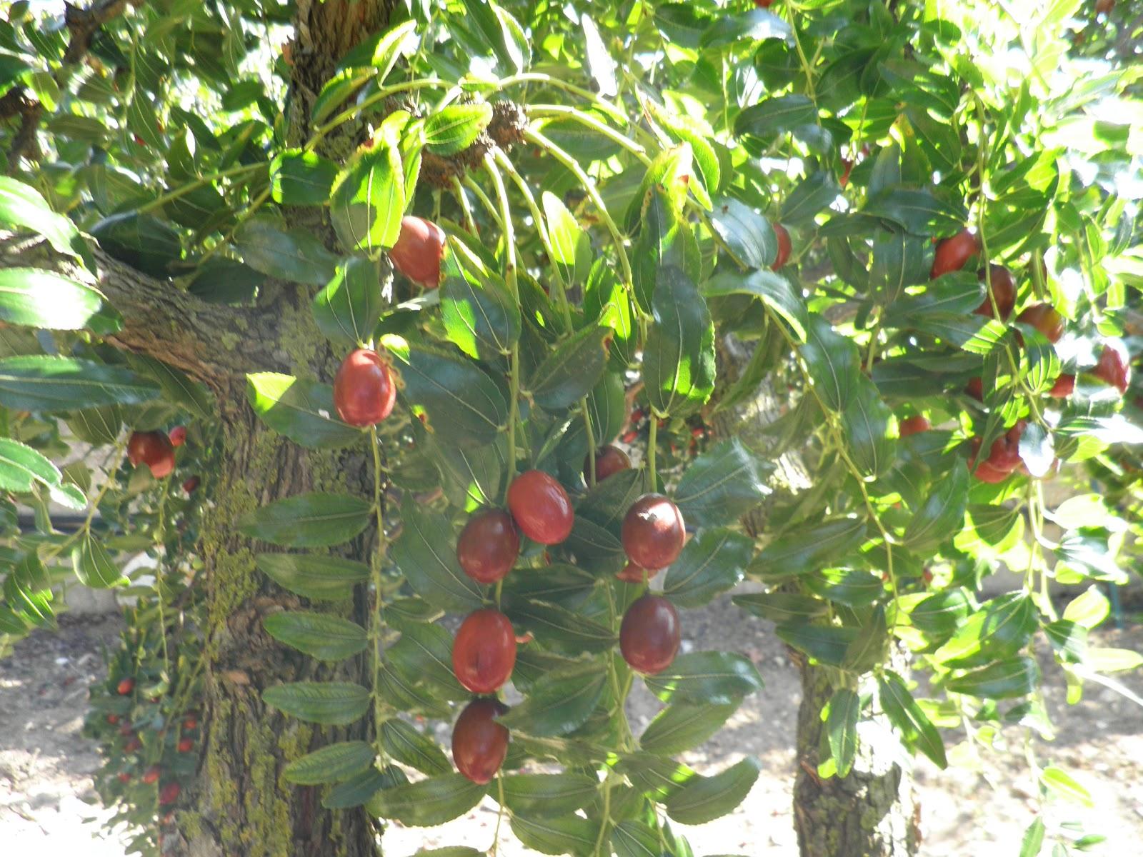 Frutti dimenticati le giuggiole cannella e gelsomino for Pianta di bosso prezzo