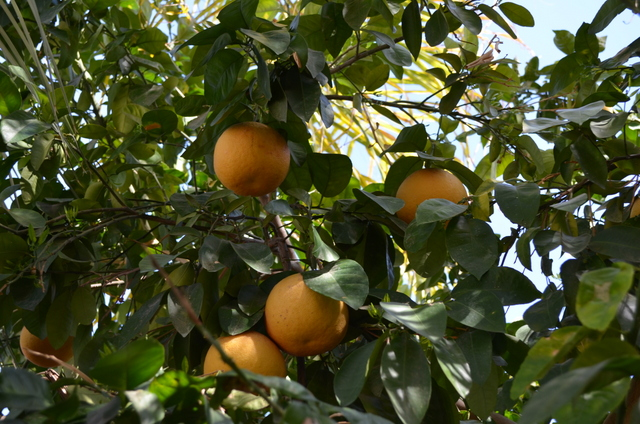 Grapefruit tree in Palm Desert, CA