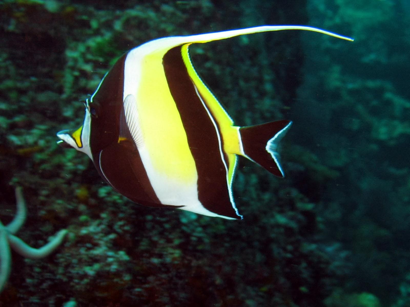 Fish share moorish idol ikan hias for Moorish idol fish