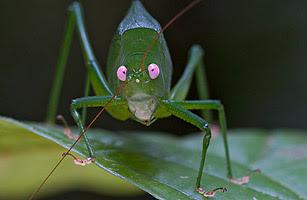 2010 十大新物種 - 10.螽蟴科昆蟲
