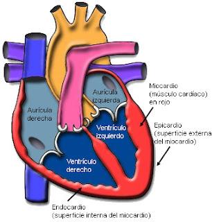 Miocardio - Epicardio