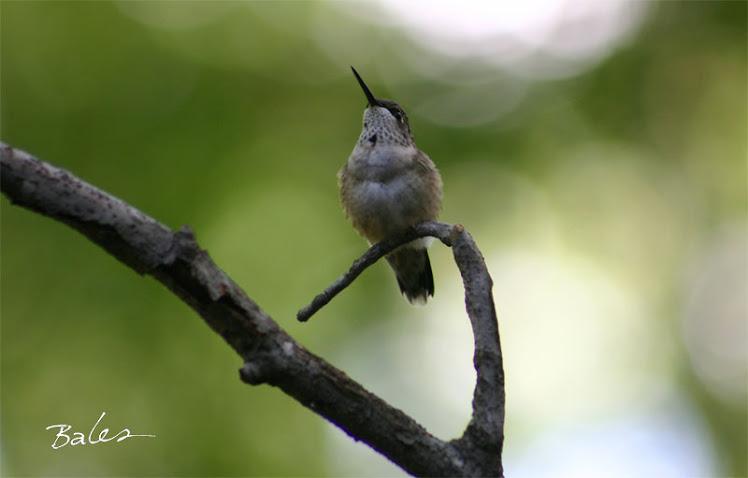 R-t Hummingbird